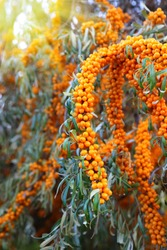 Branch of sea buckthorn with bright ripe berries, close-up