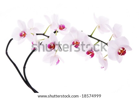 Branch of snow orchids isolated on white - stock photo