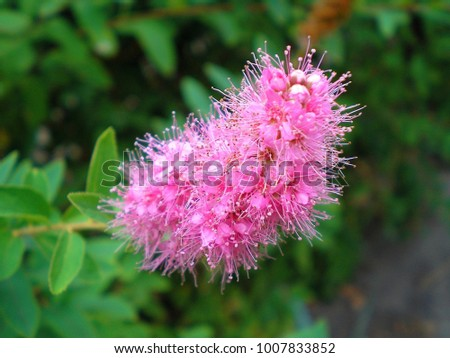 Branch of spirea or spiraea. Blooming spirea billardii by pink small flowers. Spirea shrub wallpaper. The blossoming bush of a spirea Japanese growing in a summer garden. - Shutterstock ID 1007833852