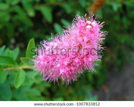 Branch of spirea or spiraea. Blooming spirea billardii by pink small flowers. Spirea shrub wallpaper. The blossoming bush of a spirea Japanese growing in a summer garden. - Shutterstock ID 1007833852