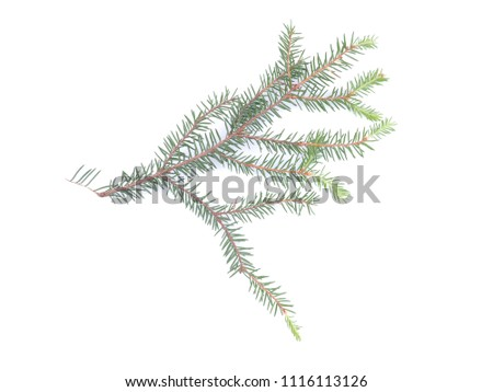 branch of spruce on a white background #1116113126