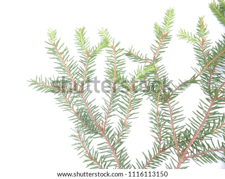 branch of spruce on a white background #1116113150