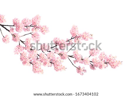 Photo of  Branch of the blossoming sakura with pink flowers, Japan. Isolated on white background