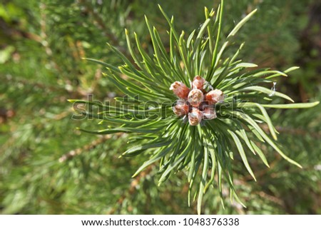 branch of the siberian pine...