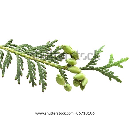 Branch of thuja tree, isolated