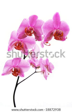 branch of tiger's violet orchids isolated on white