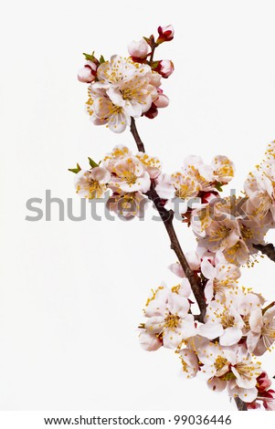 branch of tree blossoming by pink is isolated on white background