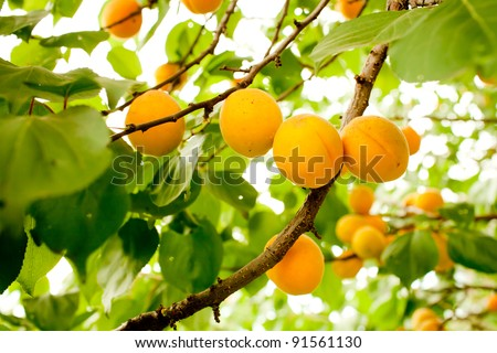 Branch of tree with apricot fruit