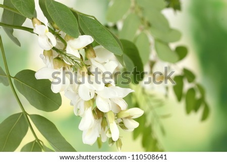 Branch of white acacia flowers on green background