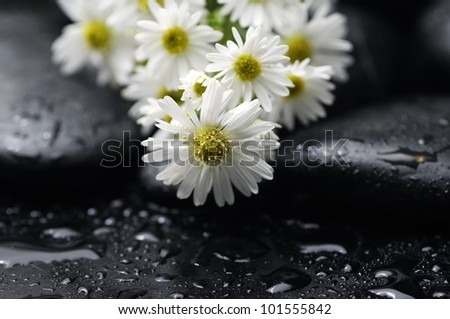 branch of white branch daisy with pebbles on wet background