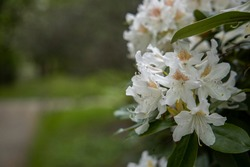 Branch of white flowers, great white rhododendron, Rhododendron Decorum, copy space for greeting card