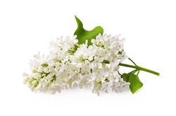 Branch of white lilac flowers with green leaf isolated on white background.