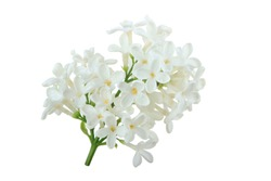 branch of white lilac isolated