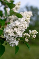 Branch of white lilac.  white lilac shrub flowers.