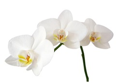Branch of White orchid isolated on white background.