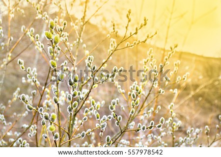 Branch of willow tree (Salix cinerea or grey willow, large gray willow, grey sallow) with blooming young male catkins against sun light in spring in forest