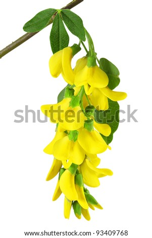 branch of yellow acacia, isolated on white background