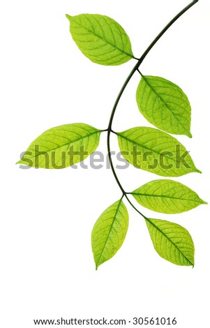 Branch of young leaves isolated on white - stock photo