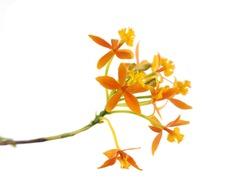 Branch Orange Orchid