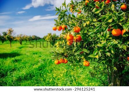 Shutterstock branch orange tree.