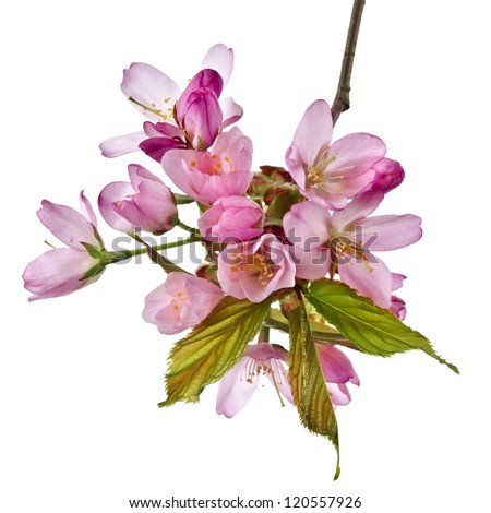 Branch pink cherry blossom flowers, isolated on white