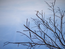 Branch tree and leafless on blue sky background, Bare tree branch silhouette against sky, abstract wallpaper for graphic creative design