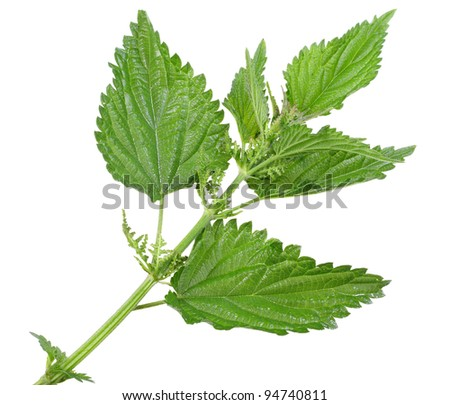 Branch with a few green leafs of nettle isolated on white background. Close-up. Studio photography.