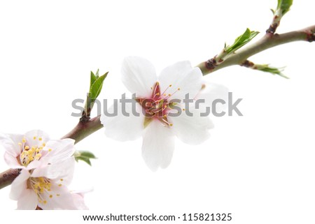 Branch with almond white flowers isolated on white background