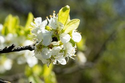 branch with appleblossom on appletree in spring - horizontal