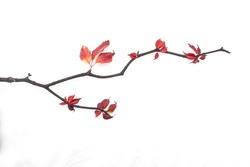 Branch with autumn red leaves isolated on a white background