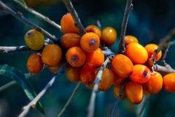 Branch with berries of sea buckthorn. Ripe sea buckthorn berries on a branch. Healthy vegan food concept