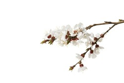 Branch with blossom flowers. Isolated over white