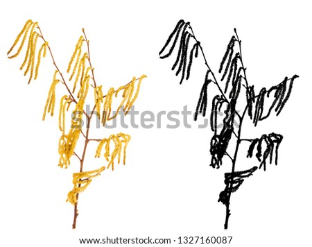 Branch with catkins of alder isolated on white backgroung with black alpha mask. Male tree during springtime.