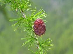 Branch with cone  of European larch (Larix decidua)