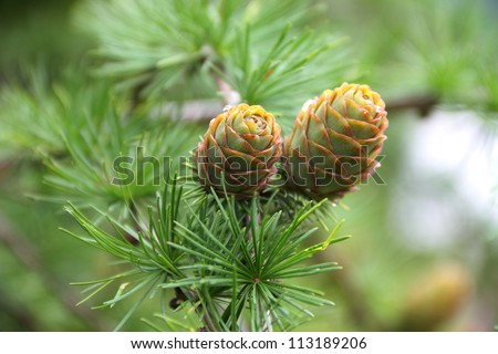 Branch with cones. Larix leptolepis