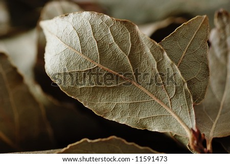 Branch with dry laurel leaves.