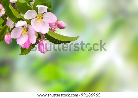 branch with flowers against a background of apple trees in spring foliage in blur