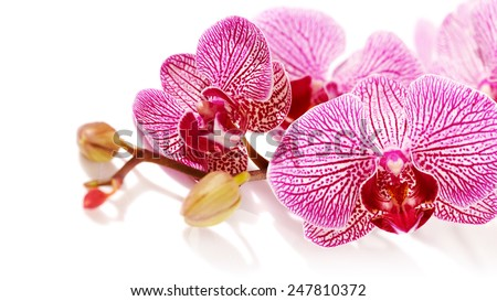 Branch with flowers of an orchid Phalaenopsis. Pink orchid Phalaenopsis. Beautiful branch of pink flowers. Tropical pink flowers of an orchid.