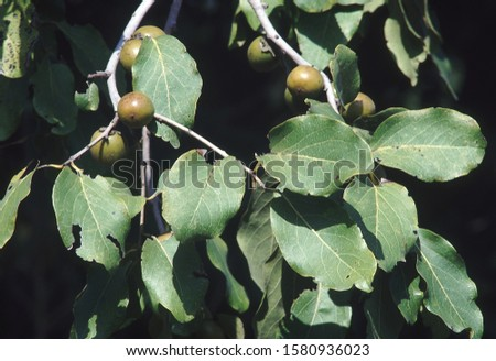 Branch with fruit. Diospyros Melanoxylon. Tendu tree/Indian Ebony. Family: Ebenaceae.