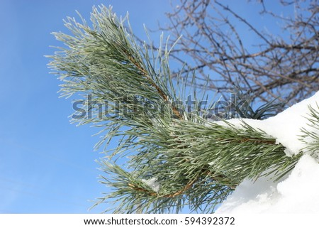 Branch with green needles on sky background. Needles of a coniferous tree on the blue sky background. A sprig of fir in the winter. New Year tree covered with snow. Christmas tree has brought by snow. #594392372