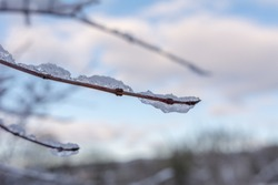 Branch with ice and snow in winter with unfocused background