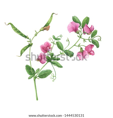 Branch with mouse peas pink- Vicia cracca (known as sweet pea, cow vetch, bird vetch). Watercolor hand drawn painting illustration, isolated on white background.