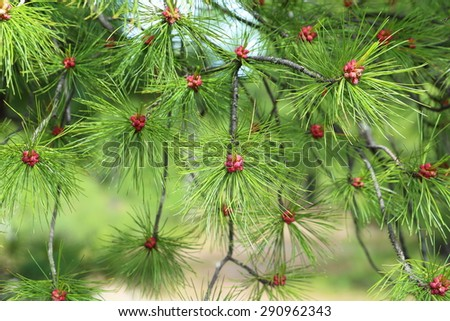 Branch with needles and flowers of a cedar in Siberia at the beginning of summer