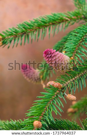 Branch with new red spruce cones on a background of a copper plate. Vertical image. Christmas card. stock photo
