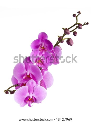branch with orchid flowers white isolated