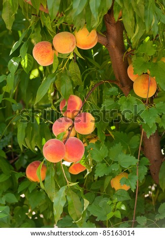 Branch with peaches, close up, vertical
