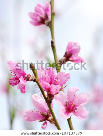 Branch with pink blossoms