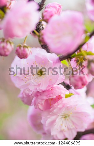 Branch with pink blossoms. Natural background - close up with shallow DOF.
