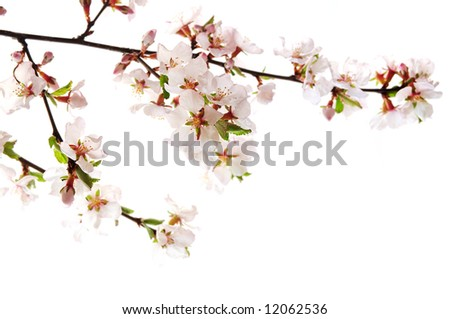 Branch with pink cherry blossoms isolated on white background