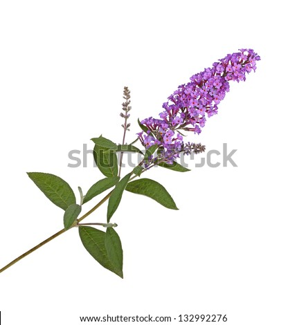 Branch with purple flowers of a butterfly bush (Buddleja davidii) isolated against a white background - stock photo